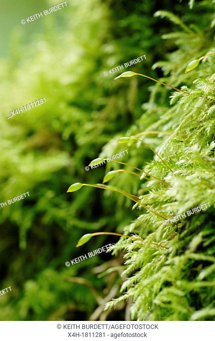 Brachythecium rutabulum moss, Wales