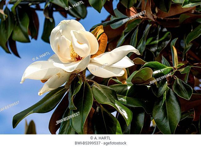 Southern Magnolia, Bull Ray, Evergreen Magnolia (Magnolia grandiflora), flower, USA, Florida