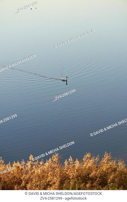 Landscape of a mute swan (Cygnus olor) on a lake in autumn, Upper Palatinate, Bavaria, Germany