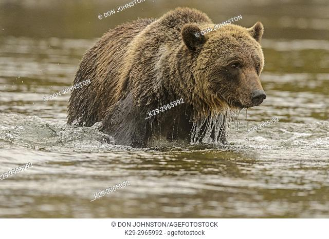 Grizzly bear (Ursus arctos)- Hunting for spawning sockeye salmon in the Chilko River, Chilcotin Wilderness, BC Interior, Canada