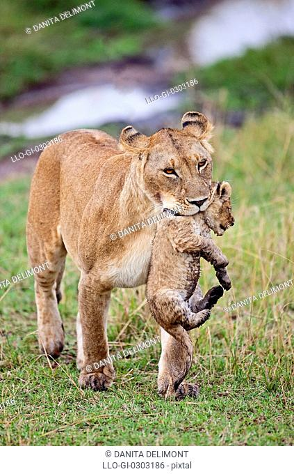 Lioness carrying cub Panthera Leo, Maasai Mara National Reserve, Kenya