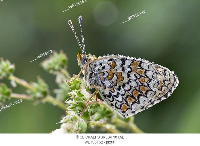 Details of butterfly melitea covered by morning dew, It's waiting for the heat to fly. Lombardy, Italy