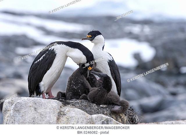 Imperial Shags or Antarctic Cormorants (Phalacrocorax atriceps), pair feeding their chicks, Jougla Point, Port Lockroy, Antarctic Peninsula, Antarctica