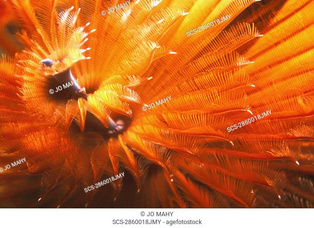 Close up deatail of glowing red and orange Christmas Tree Worm showing spiral shape Cayman Islands