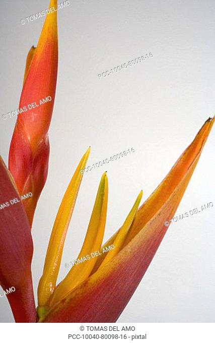 Studio shot of orange and red heliconia on white background