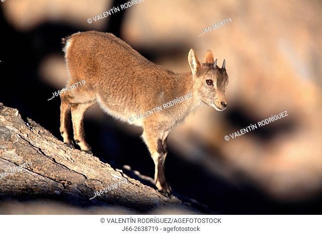 Ibex (Capra pyrenaica) in the natural park of Els Ports. Young specimen. Tarragona