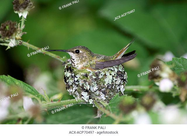 Rufous has two baby humming bird (selasphorus rufus) birds in the nest .Ladner, British Columbia