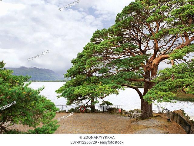 Large pine on Lough Leane Lower Lake