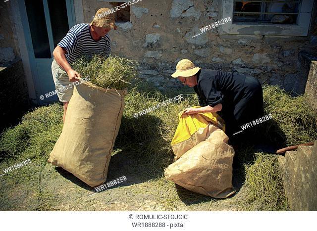 Farmers filling lavender into jute sacks, Hvar, Dalmatia, Croatia