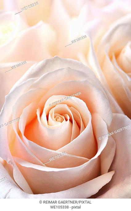 Close up of a bunch of fresh pink white hybrid tea roses