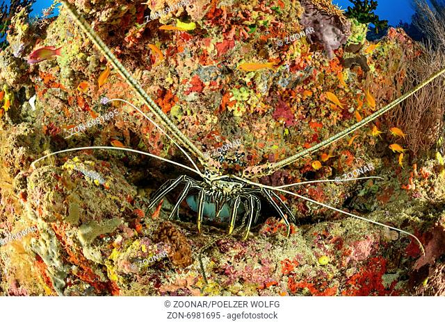 Panulirus versicolor, Painted Spiny Lobster