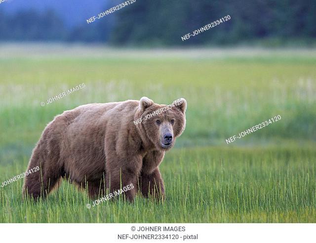 Bear on meadow