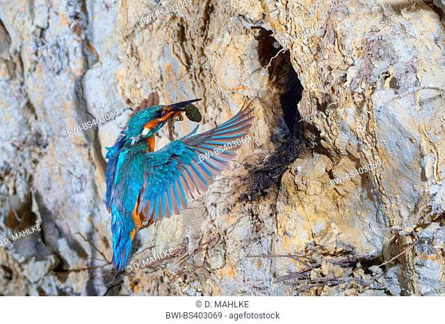 river kingfisher (Alcedo atthis), approaching the breeding cave with a caught smooth newt in its bill, Germany, North Rhine-Westphalia