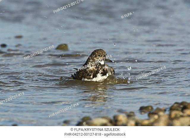 Ruddy Turnstone Arenaria interpres adult, winter plumage, bathing in shallow water, Cley-next-Sea, Norfolk, England, march