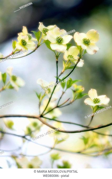 White Dogwood Blossom. Cornus florida. March 2007, South Carolina, USA