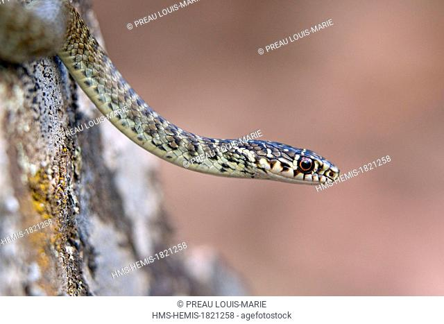 France, Corse du Sud, Gulf of Porto, listed as World Heritage by UNESCO Scandola, green and yellow snake (Hierophis viridiflavus)
