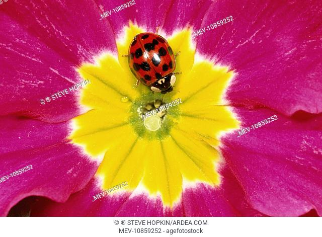 Harlequin LADYBIRD - on flower (Harmonia axyridis). Deep red with black spots form. The Harlequin is a voracious predator and easily out competes our native...
