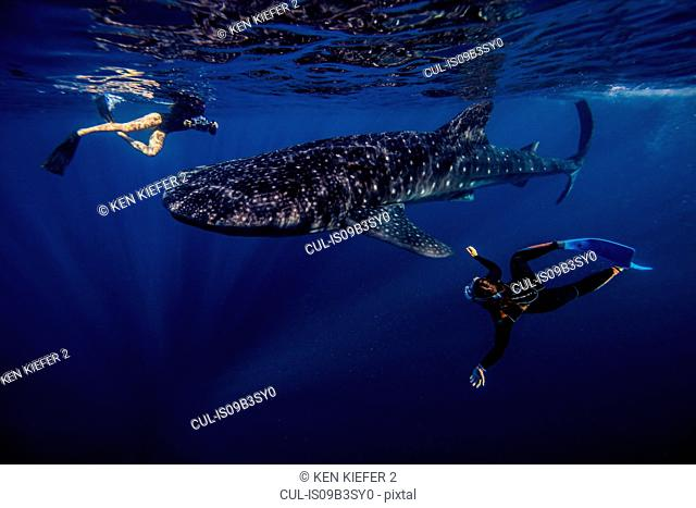 Divers swimming with Whale shark, underwater view, Cancun, Mexico