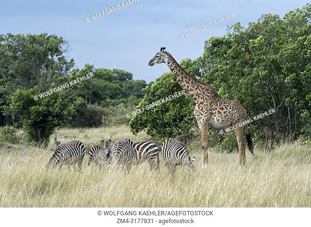 Masai giraffes (Giraffa camelopardalis tippelskirchi) and Plains zebras (Equus quagga, formerly Equus burchellii) also known as the common zebra or Burchell's...
