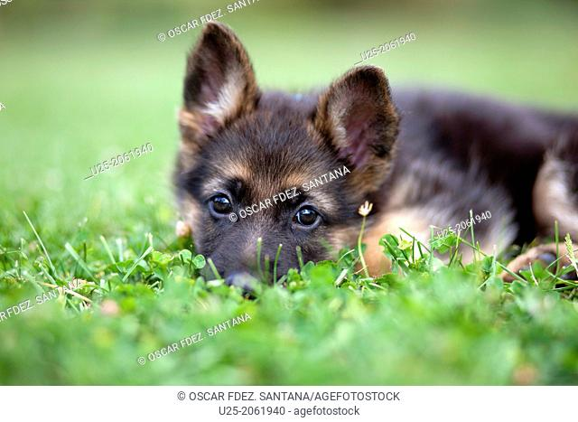 Dog, Vitoria, Alava, Basque Country, Spain