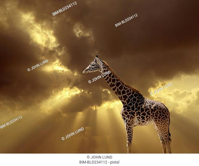 Giraffe standing in sunset sky