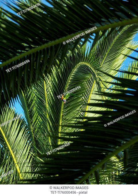Llorikeet (Trichoglossus moluccanus) perching on palm tree
