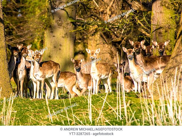 Fallow Deer (Dama dama) in the woods of Holkham park, Holkham hall in North Norfolk, East Anglia, England, UK