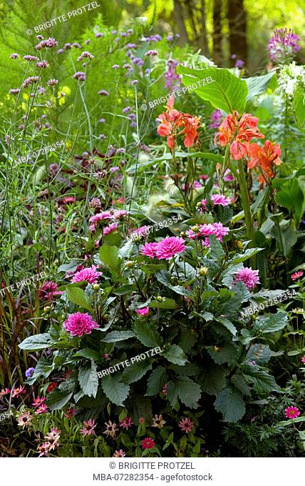 Flowerbed with asters and dahlias