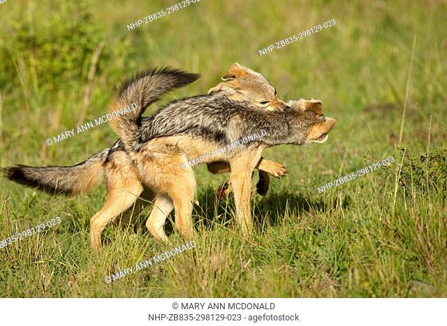 Black-backed Jackal, playing, Canis mesomelas, Lower Mara, Masai Mara Game Reserve, Kenya, Africa