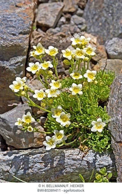 Musky saxifrage (Saxifraga moschata, Saxifraga exarata ssp. moschata), blooming between rocks, Germany