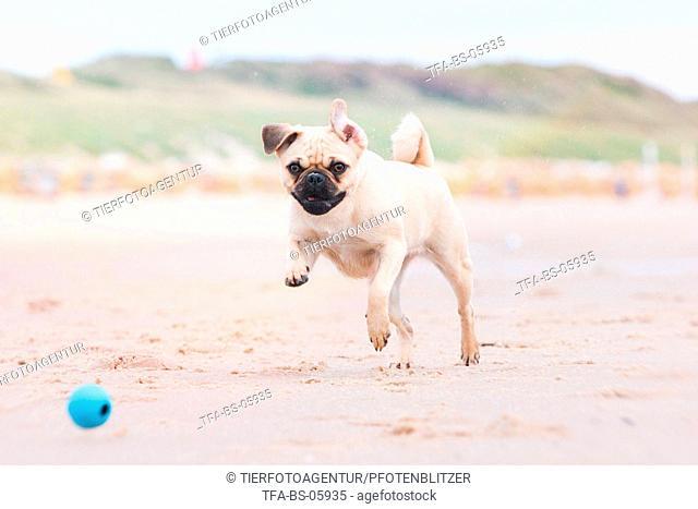 playing pug
