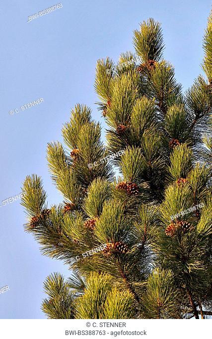 European black pine, Austrian pine, Black Pine, Corsican Pine (Pinus nigra), branches with cones, Germany