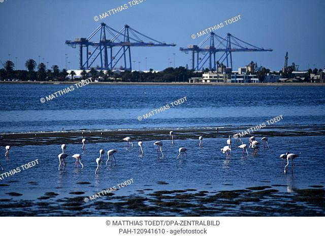 Flamingos wading in the harbor of Walfishbay, in the background loading bridges for the deletion of containers and heavy cargo, taken on 01.03.2019