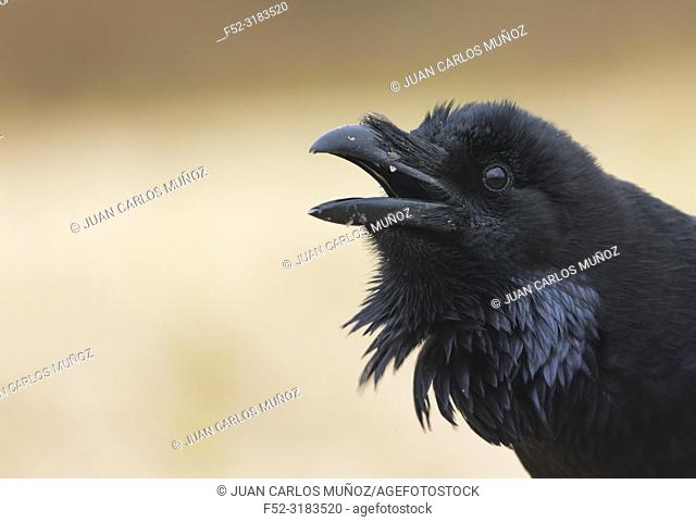 Common raven / Northern raven (Corvus corax). Spain