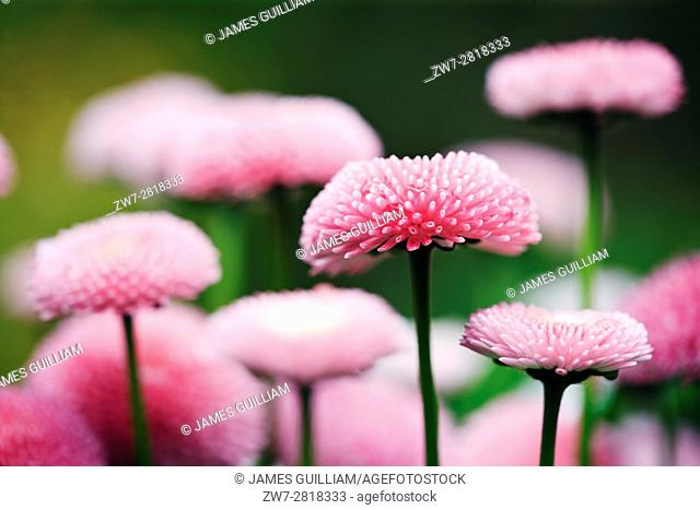 English Daisy (Bellis perennis) Variety Bellissima Rose