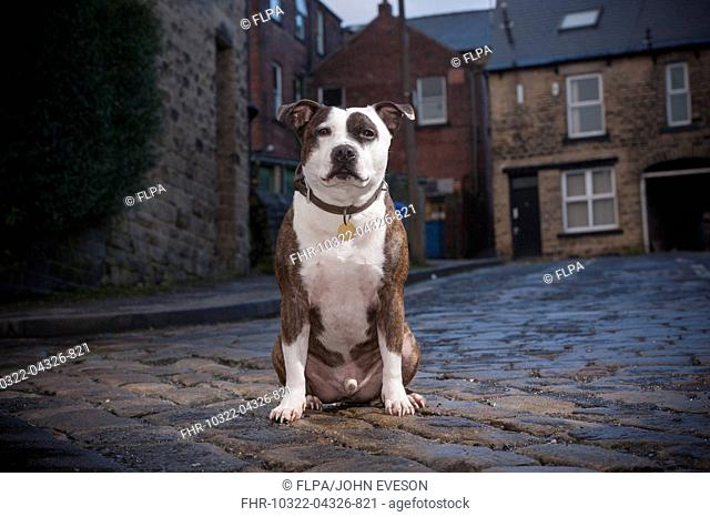 Domestic Dog, Staffordshire Bull Terrier, adult male, wearing collar and identification tag, sitting in city street, Sheffield, South Yorkshire, England