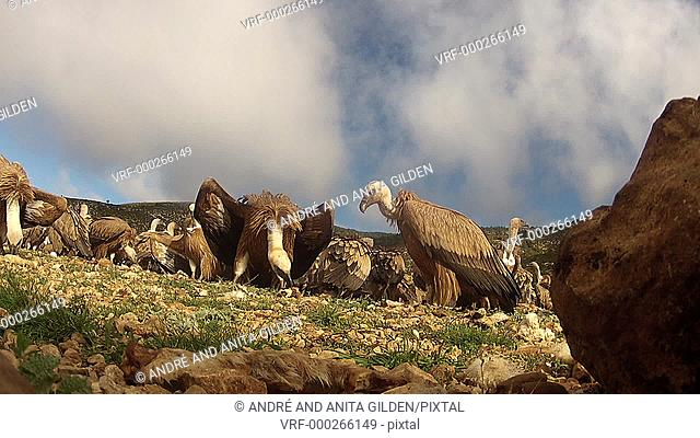 Griffon Vultures fighting, rolling on the ground