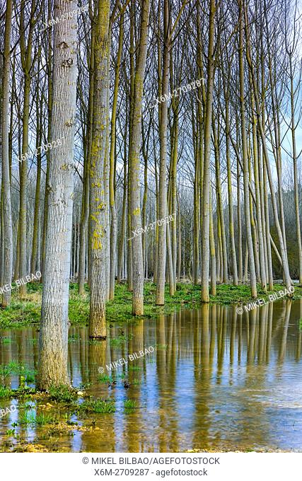 Poplar grove near Ega river. Murieta, Navarre. Spain, Europe