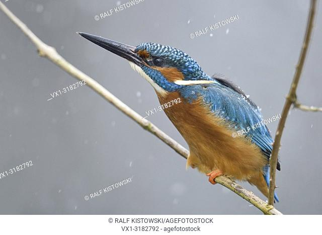 Eurasian Kingfisher ( Alcedo atthis ), male in winter, perched on a branch, threatening to / fending a rival out of its territory, wildlife, Europe