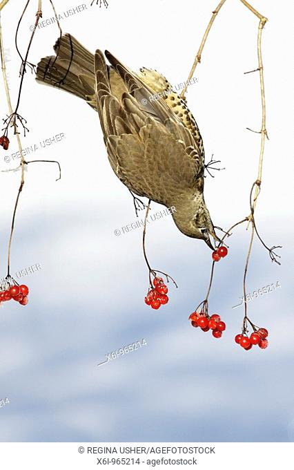 Mistle Thrush Turdus viscivorus, feeding on Guelder Rose berries in winter, Germany