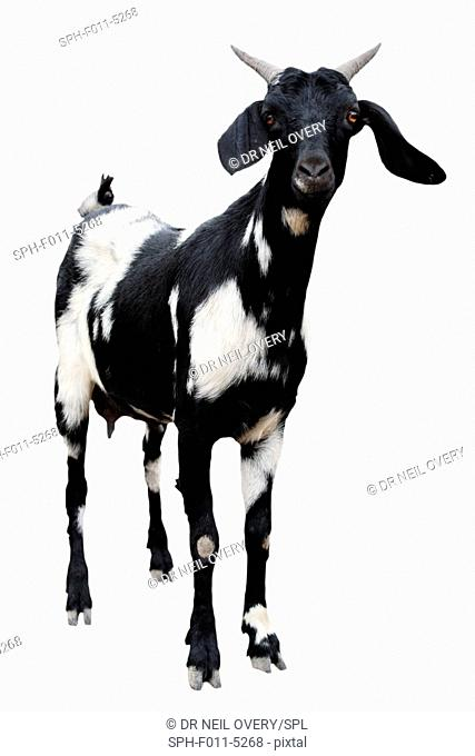 Boer goat, Norvalspont, Northern Cape, South Africa
