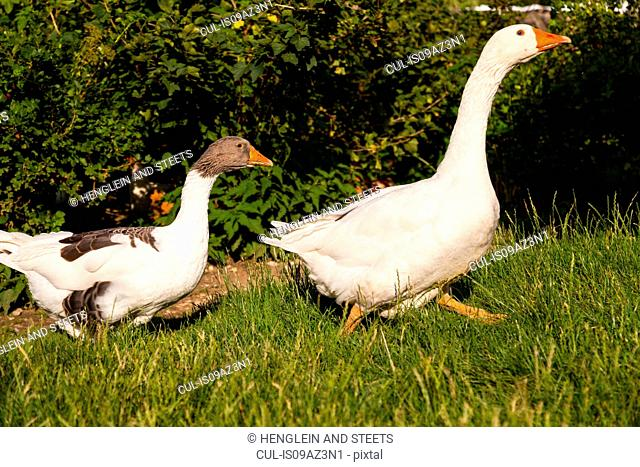 Two geese walking through grass