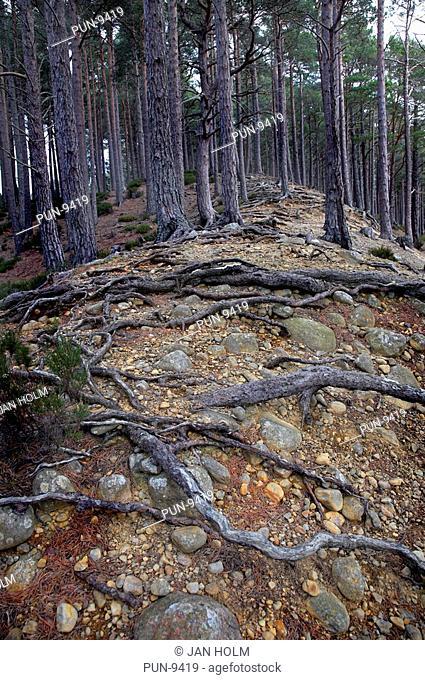 Scottish native pine trees in Rothiemurchus forest