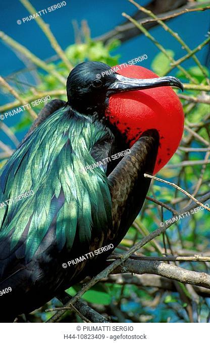 South America, Ecuador, Galapagos islands, isles, San Cristobal Chatham, bird, birds, Fregatidae, Pelecaniformes, frig