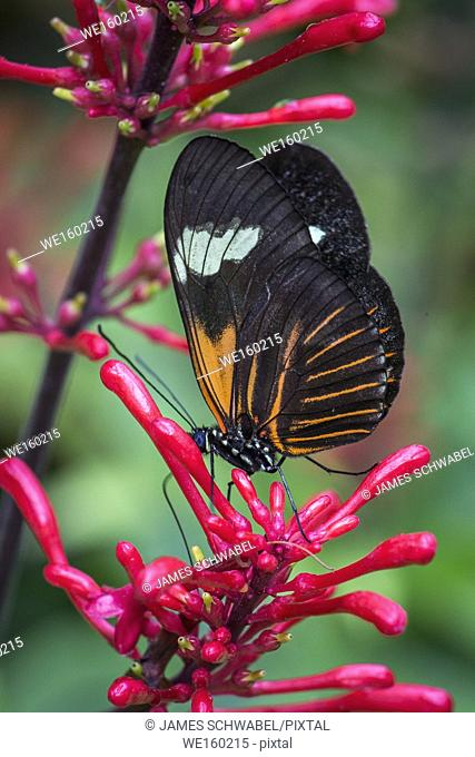 Close up of orange black and white Heliconius erato notabilis butterfly commonly known as small postman butterfly , the red passion flower butterfly