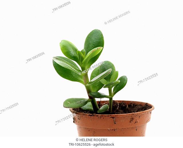 Money Tree Sapling In pot