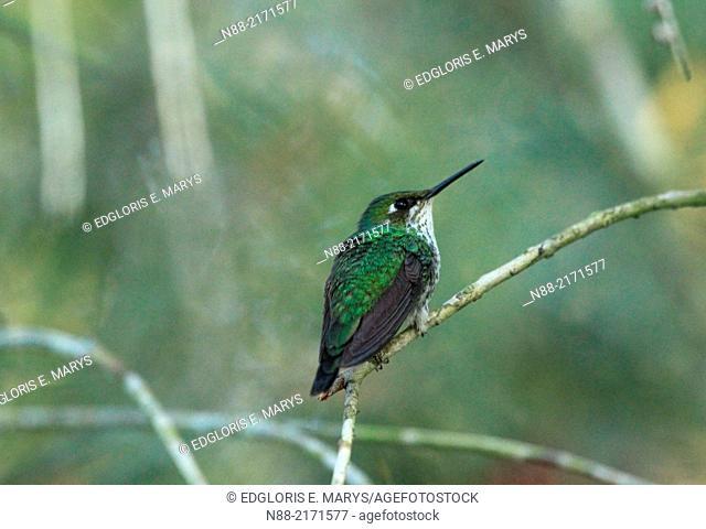 Hummingbird Caracas Venezuela