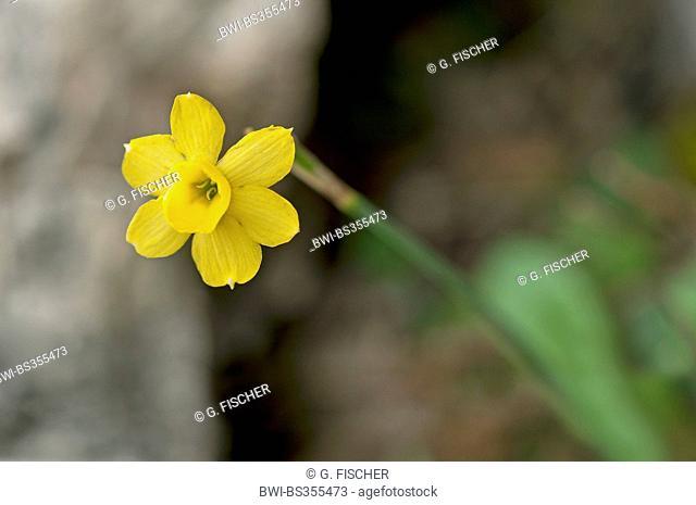 Daffodil (Narcissus assoanus, Narcissus juncifolius, Narcissus requienii), flower, Spain, Andalusia, Sierra de Grazalema Natural Park