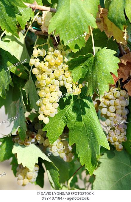 San Gimignano, Tuscany, Italy  Vine clusters of typical local white wine Vernaccia grapes