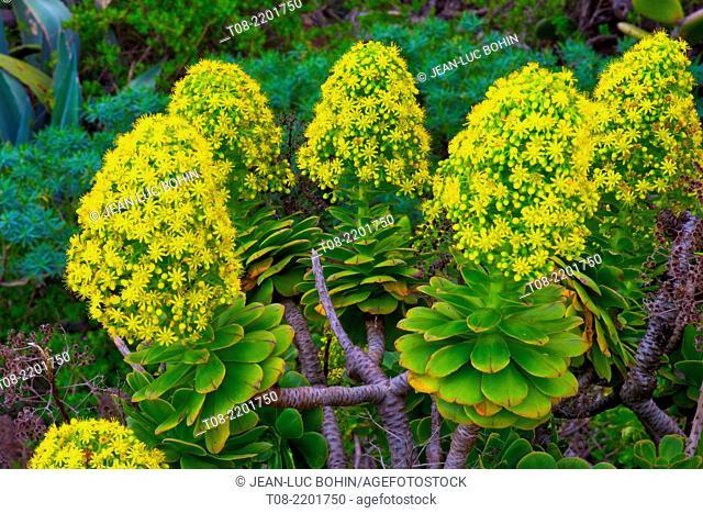 canary islands, la palma , north,guelguen reserve : aeonium palmense